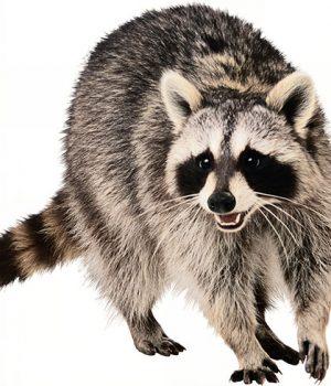 244739-raccoons