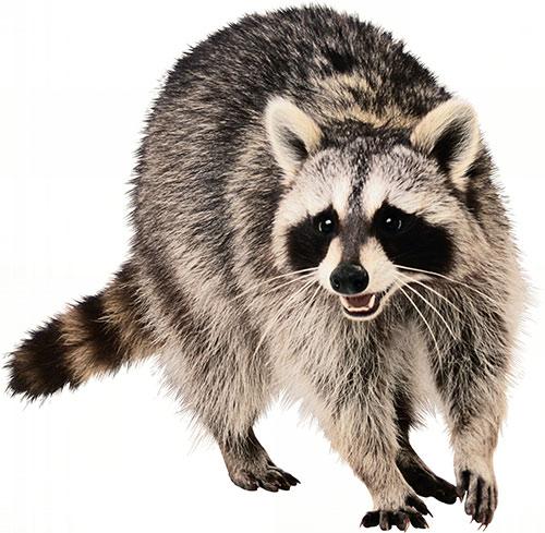 244739-raccoons.jpg